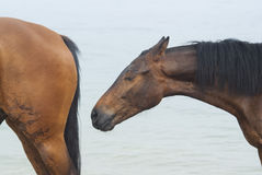 Two  horses standing in the sea water Royalty Free Stock Image