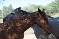 Two horses stay closed royalty free stock photography