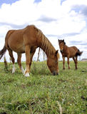 Two horses on a summer meadow. Two horses graze in the summer on a meadow in summer day Stock Image