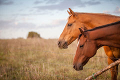 Two horses at sunset. Pair of horses behind a barbed wire fence at sunset stock photography