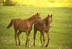Two Horses talking Stock Photography