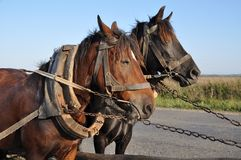 Two horses in a team. Royalty Free Stock Images