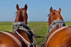 Two horses in team go forward Royalty Free Stock Photo