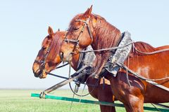 Two horses in team prpare to trip Royalty Free Stock Images