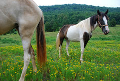 Two horses in a Tennessee meadow Stock Images