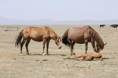Two horses with their foals lying down at the Song Kul lake. In Kyrgyzstan Stock Photography