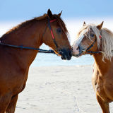 Two horses. Together in a field Stock Photos