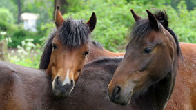 Two horses together Stock Photography