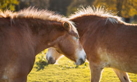 Two horses. Together on pasture in sunny day Royalty Free Stock Images