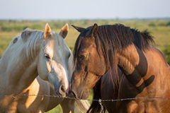 Two horses touch noses. Two horses touching noses behind a barbed wire fence Royalty Free Stock Image