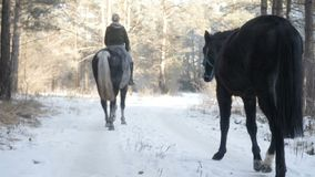 Two horses are on the trail. In the forest stock footage
