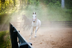 Two horses trot through dust Royalty Free Stock Photos