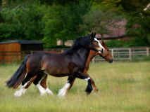 Two horses trotting Stock Image