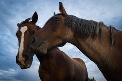 Two Horses. Two brown horses touching noses together against cloudy sky background Royalty Free Stock Photo