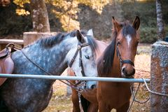 Two Horses waiting to ride. Tied in a metal fence, one white and another brown Royalty Free Stock Images