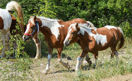Two horses walking on footpath. Stock Image