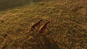 Two horses walking on grass. Top view of brown horses. Pair of wanderers at sunrise. Instinct will show the way stock video