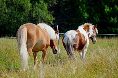 Two horses walking in meadow Royalty Free Stock Photography