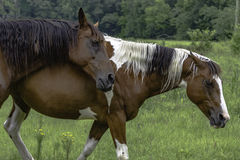 Two horses walking in a pasture. A bay and a paint horse walking in a pasture stock photography