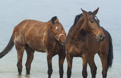 Two  horses walking in the sea water Stock Photography