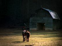 Two Horses Walking Toward Barn. Two horses walking together toward old wooden barn Stock Images