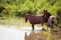 Two horses in water Stock Images