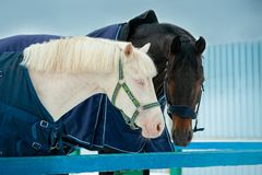Free Two Horses Wearing Winter Blanket Portrait Outdoors Royalty Free Stock Photo - 162860965