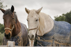 Two horses wearing winter clothes. Stock Photos