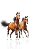 Two horses on white. Two horses on a white Royalty Free Stock Photo