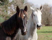 Two horses white and black in meadow Stock Photo