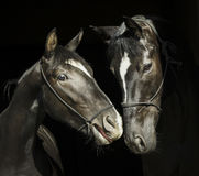 Two  horses with a white blaze on the head with halter are standing next to each other on a black background. Two black horses with a white blaze on the head Stock Photography