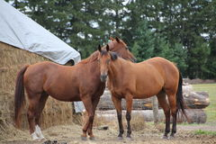 Two horses who are buddies. Photo of two horses outside who are buddies Stock Images
