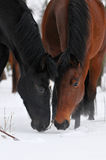 Two horses in winter. Bay and black Royalty Free Stock Image
