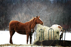 Two Horses in Winter Royalty Free Stock Photo