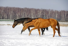 Two horses in winter field Royalty Free Stock Photos