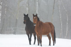 Two horses in winter Royalty Free Stock Photos