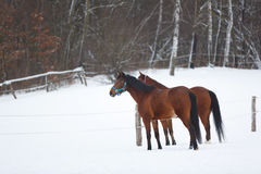 Two horses in winter Stock Photos