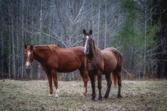 Two horses in the woods. A pair of horses in the woods in lower Alabama Stock Photography