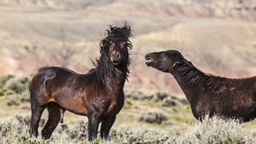 Two horses of the Wyoming deserts fighting Royalty Free Stock Photos