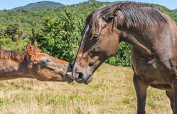 Two horses. The young horse and his mother Royalty Free Stock Photography