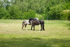Two horsies . Royalty Free Stock Images