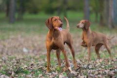 Two hounds Royalty Free Stock Photography