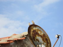 Two House Sparrow on Dish Antenna Royalty Free Stock Photos