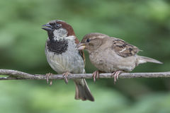 Two House Sparrows Royalty Free Stock Photo