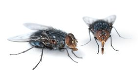 Two houseflies on white. Two houseflies looking for feed on white background royalty free stock photos
