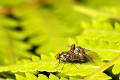 Two housefly Royalty Free Stock Images