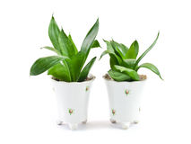 Two houseplant. In pot isolated on white background royalty free stock image
