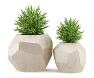 Two houseplants in wooden pots  on white Royalty Free Stock Photo