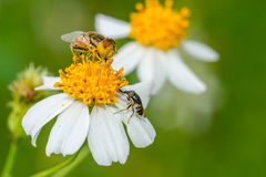 Two hover flies collecting nectar Royalty Free Stock Photo