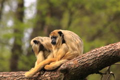 Two howler monkey's Stock Image